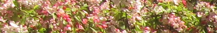 cherryblossoms-4-29