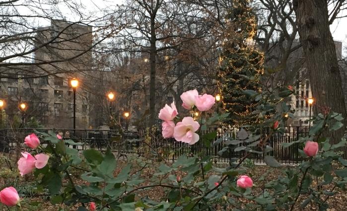 xmas-roses
